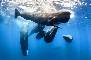 Sperm whales (Physeter macrocephalus) group, Sri Lanka. - Tony Wu