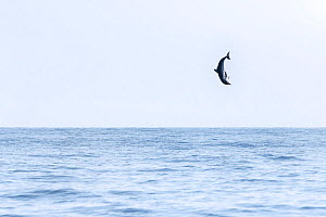 Spinner dolphin (Stenella longirostris) leaping exceptionally high into the air, Sri Lanka. - Tony Wu