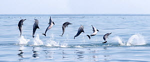 Spinner dolphin (Stenella longirostris) engaged in  spinning manoeuvre, Sri Lanka. Composite sequence of images. - Tony Wu