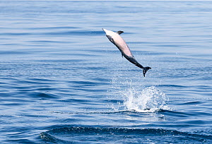 Spinner dolphin (Stenella longirostris) leaping into the air on a sunny day, Sri Lanka, Indian Ocean.  -  Tony Wu