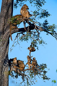 Chacma baboon (Papio ursinus) family roosting in a tree  with juveniles playing, Duba Plains concession, Okavango delta, Botswana, Southern Africa  -  Eric Baccega