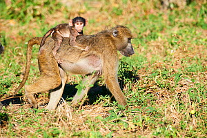 Chacma baboon (Papio ursinus) mother carrying baby on her back, Moremi National Park, Okavango Delta, Botswana, Southern Africa  -  Eric Baccega