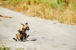 African wild dog (Lycaon pictus) scooting / rubbing its rear end. Moremi National Park, Okavango delta, Botswana, Southern Africa  -  Eric Baccega