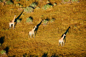 Aerial view of Giraffe group running (Giraffa camelopardalis angolensis) with shadow at sunrise, Okavango delta, Botswana, Africa  -  Eric Baccega