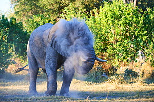 African elephant bull spraying dust on injured eye to minimize fly annoyance (Loxodonta africana), Moremi National Park, Okavango delta, Botswana, Southern Africa  -  Eric Baccega