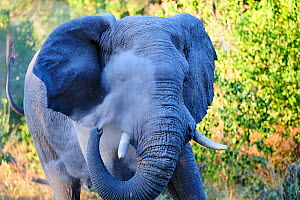 African elephant  (Loxodonta africana), bull spraying dust on injured eye to minimize fly annoyance, Moremi National Park, Okavango delta, Botswana, Southern Africa  -  Eric Baccega