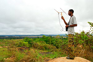 Park biologists radio tracking a troop of Mandrills (Mandrillus sphinx) on the map. Lopé National Park, Ecosystem and Relict Cultural Landscape of Lopé-Okanda UNESCO World Heritage Site, Gabon.  -  Enrique Lopez-Tapia