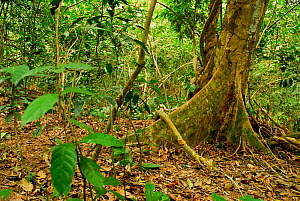 Riverine forest.Lopé National Park, Ecosystem and Relict Cultural Landscape of Lopé-Okanda UNESCO World Heritage Site, Gabon. - Enrique Lopez-Tapia