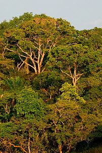 Forest trees in Lopé National Park, Ecosystem and Relict Cultural Landscape of Lopé-Okanda UNESCO World Heritage Site, Gabon. - Enrique Lopez-Tapia