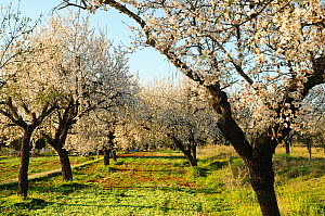 Almond trees (Prunus dulcis) in bloom. Ibiza, Biodiversity and Culture  UNESCO World Heritage Site, Ibiza, Spain, February.  -  Enrique Lopez-Tapia