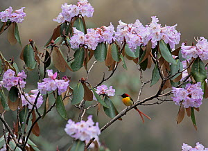 Fire-tailed sunbird (Aethopyga ignicauda) male perched on sub -alpine Rhododendron bush, Central Himalaya, Mustang, Nepal, May  -  Konstantin Mikhailov