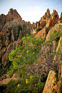 Tree spurge (Euphorbia dendroides) plants flowering in Calanche of Piana, Gulf of Porto UNESCO World Heritage Site. Corsica, France. March - Lorraine Bennery