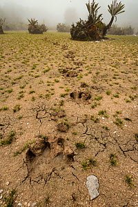 Tracks of Baird's tapir (Tapirus bairdii) cross the cracked mud of a highland peat bog. Talamanca Range, Talamanca Range-La Amistad Reserves / La Amistad National Park UNESCO Natural World Heritage Si... - Nick Hawkins