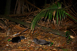 Flesh-footed Shearwater (Puffinus carneipes) at night in coastal forest, Lord Howe island, Lord Howe Island Group UNESCO Natural World Heritage Site, New South Wales, Australia - Oriol  Alamany