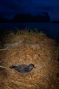 Wedge-tailed Shearwater (Puffinis pacificus) at dusk, Lord Howe island, Lord Howe Island Group UNESCO Natural World Heritage Site, New South Wales, Australia - Oriol  Alamany