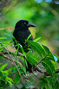 Lord Howe currawong (Strepera graculina crissalis) in Malabar Hill forest, endemic to Lord Howe island, Lord Howe Island Group UNESCO Natural World Heritage Site, New South Wales, Australia  -  Oriol  Alamany