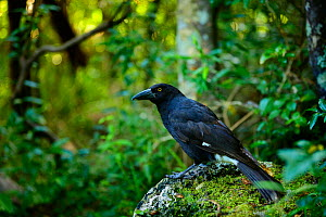 Lord Howe currawong (Strepera graculina crissalis) in Malabar Hill forest, endemic to Lord Howe island, Lord Howe Island Group UNESCO Natural World Heritage Site, New South Wales, Australia.  -  Oriol  Alamany