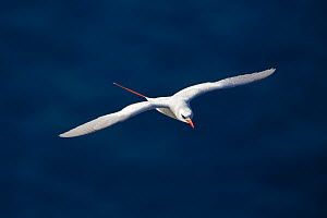 Red-tailed tropicbird (Phaethon rubricauda) in flight, Malabar Hill, Lord Howe island, Lord Howe Island Group UNESCO Natural World Heritage Site, New South Wales, Australia - Oriol  Alamany