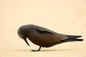 Brown noddy (Anous stolidus) at Blinky Beach, Lord Howe island, Lord Howe Island Group UNESCO Natural World Heritage Site, New South Wales, Australia  -  Oriol  Alamany
