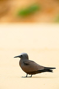 Brown Noddy (Anous stolidus) on ground, Blinky Beach, Lord Howe island, Lord Howe Island Group UNESCO Natural World Heritage Site, New South Wales, Australia  -  Oriol  Alamany
