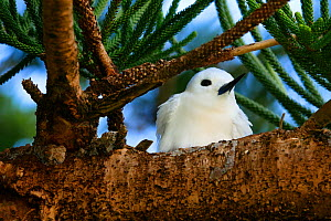 White tern (Gygis alba), Lord Howe island, Lord Howe Island Group UNESCO Natural World Heritage Site, New South Wales, Australia - Oriol  Alamany