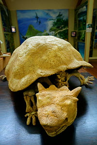 Lord Howe Island Horned Turtle fossil (Meiolania platyceps)  Lord Howe Museum, Lord Howe island, Lord Howe Island Group UNESCO Natural World Heritage Site, New South Wales, Australia  -  Oriol  Alamany