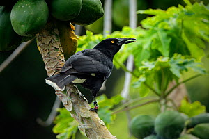 Lord Howe Island Currawong (Strepera graculina crissalis), endemic subspecies of the Pied Currawong, Lord Howe island, Lord Howe Island Group UNESCO Natural World Heritage Site, New South Wales, Austr...  -  Oriol  Alamany