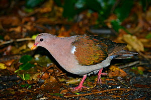 Emerald dove (Chalcophaps indica) on grounf in coastal forest, Lord Howe island, Lord Howe Island Group UNESCO Natural World Heritage Site, New South Wales, Australia, October.  -  Oriol  Alamany
