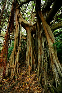 Banyan tree (Ficus macrophylla) on the trail to Valley of the Shadows, Lord Howe island, Lord Howe Island Group UNESCO Natural World Heritage Site, New South Wales, Australia, October. - Oriol  Alamany