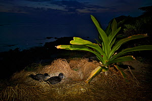 Wedge-tailed shearwater (Puffinis pacificus) at dusk, Lord Howe island, Lord Howe Island Group UNESCO Natural World Heritage Site, New South Wales, Australia, October. - Oriol  Alamany