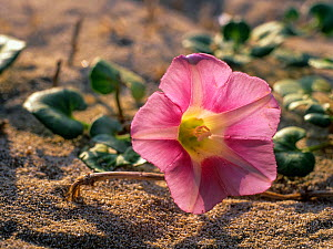 Morning Glory (Calystegia soldanella) in the dunes of es Cavallet beach, Las Salinas (Ses Salines) Natural Park, Ibiza biodiversity and culture UNESCO World Heritage Site, Spain.  -  Oriol  Alamany