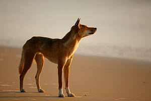 Dingo (Canis lupus dingo) on beach,  Fraser Island UNESCO World Heritage Site. Queensland, Australia, November. Model released  -  Oriol  Alamany
