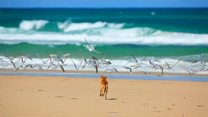 Dingo (Canis lupus dingo) chasing terns and gulls on the Seventy Five Miles beach Fraser Island UNESCO World Heritage Site. Queensland, Australia, November.  -  Oriol  Alamany