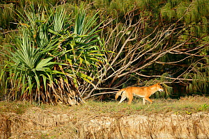 Dingo (Canis lupus dingo) male and Pandanus tree on the beach, Fraser Island UNESCO World Heritage Site. Queensland, Australia, November.  -  Oriol  Alamany
