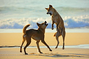 Dingo (Canis lupus dingo) fighting on a beach. Fraser Island UNESCO World Heritage Site. Queensland, Australia, November.  -  Oriol  Alamany