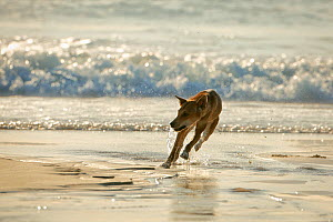 Dingo (Canis lupus dingo)  male running on the beach. Fraser Island UNESCO World Heritage Site. Queensland, Australia, November.  -  Oriol  Alamany