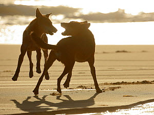 Dingos (Canis lupus dingo) fighting on a beach, Fraser Island UNESCO World Heritage Site. Queensland, Australia, November.  -  Oriol  Alamany