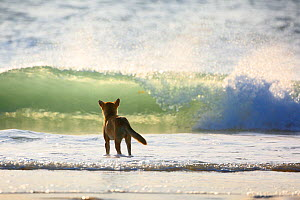 Dingo (Canis lupus dingo) in the surf, Fraser Island UNESCO World Heritage Site. Queensland, Australia, November.  -  Oriol  Alamany