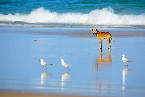 Dingo (Canis lupus dingo) with Silver Gull (Larus navaehollandiae) on  beach, Fraser Island UNESCO World Heritage Site. Queensland, Australia, November.  -  Oriol  Alamany