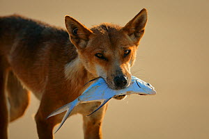 Dingo (Canis lupus dingo)  carrying  fish, Fraser Island UNESCO World Heritage Site. Queensland, Australia, November.  -  Oriol  Alamany