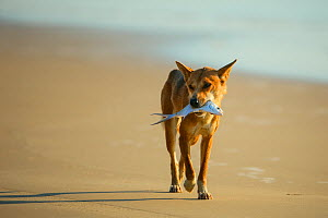 Dingo (Canis lupus dingo) on the beach carrying a fish, Fraser Island UNESCO World Heritage Site. Queensland, Australia, November.  -  Oriol  Alamany
