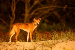 Dingo (Canis lupus dingo) on the beach at night, Fraser Island UNESCO World Heritage Site.  Queensland, Australia, November.  -  Oriol  Alamany