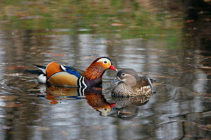 Mandarin duck (Aix galericulata) male and female on water, Lazo reserve, Sikhote Alin UNESCO Natural World Heritage Site, Primorskiy krai,  Far East Russia. April.  -  Vladimir  Medvedev