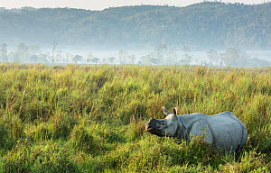 Indian rhinoceros (Rhinoceros unicornis) in tall grass.  Kaziranga National Park UNESCO Natural World Heritage Site, India.  -  Yashpal Rathore