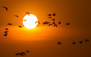 Flock of Bar-headed Geese (Anser indicus) winter migratory birds, returning to park at dusk after feeding on nearby agriculture fields.  Keoladeo / Bharatpur National Park UNESCO Natural World Heritag...  -  Yashpal Rathore