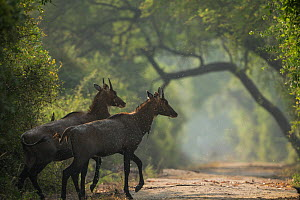 Nilgai (Boselaphus tragocamelus) young bulls, Keoladeo / Bharatpur National Park UNESCO Natural World Heritage Site,  India  -  Yashpal Rathore