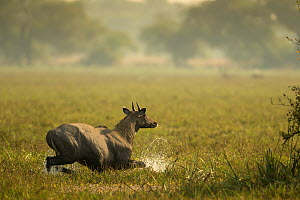 Nilgai (Boselaphus tragocamelus) bull wading through swamp, Keoladeo / Bharatpur National Park UNESCO Natural World Heritage Site,  India  -  Yashpal Rathore