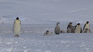 Emperor penguin (Aptenodytes forsteri) leading group of chicks, one following and calling, Adelie Land, Antarctica, January. - Fred  Olivier