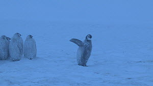 Emperor penguin (Aptenodytes forsteri) chick flapping wings at edge of colony, looking at adult leaving, Adelie Land, Antarctica, January.  -  Fred  Olivier