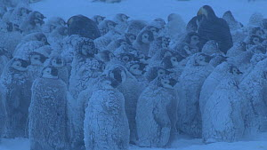 Close-up of a group of Emperor penguin (Aptenodytes forsteri) chicks huddled together in a blizzard, covered in snow, Adelie Land, Antarctica, January.  -  Fred  Olivier